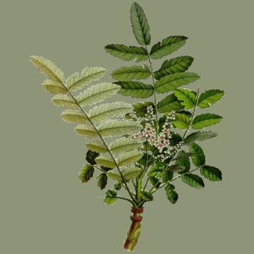 Boswellia serrata Huile essentielle d'Encens