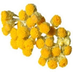 Helichrysum - Immortelle Huile Essentielle